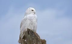 Late Season Snowy (hd.niel) Tags: snowyowl owls lateseason ontario kingston nature wildlife photography