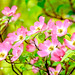 Dogwood Flowers in The Rain : ハナミズキ(花水木)