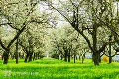 Kirschbaumblütenwiese (Markus Lenz) Tags: blüten bäume fotografie genre kirschbaumblüte kirschblüte kirsche naturlandschaft obstbäume pflanze pflanzen pflanzenfotografie streuobstwiese wiese