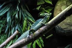 Lizard Green (Kieran Gateley) Tags: still reptile natural earth wildlife vivid bright camouflage plans aquarium zoo nature green lizard