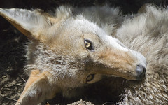 Akron Zoo 06-06-2014 - Coyote 20 (David441491) Tags: coyote canine akronzoo