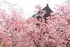 Pink cherry (Teruhide Tomori) Tags: 京都 春 桜 日本 平安神宮 寺社建築 伝統 岡崎 sakura cherry kyoto japan japon heianjingushrine shrine spring flower architecture construction wooden