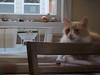 Jimmy with the Hill Billy restaurant china bowl (rootcrop54) Tags: jimmy orange tabby male cat striped longhair neko macska kedi 猫 kočka kissa γάτα köttur kucing gatto 고양이 kaķis katė katt katze katzen kot кошка mačka gatos maček kitteh chat ネコ