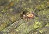 Springtail - Dicyrtomina saundersi (Prank F) Tags: kettonquarry lrwt wildlifetrust ketton rutland uk nature wildlife insect macro closeup springtail dicyrtominasaundersi