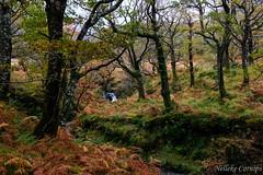 Erriff Wood - one of the last sessile oak forests in Ireland (Nelleke C) Tags: 2017 autumn countymayo erriffwood quercuspetraea fagaceae flora herfst holiday ierland ireland landscape landschap loofbos sessileoak vakantie wintereik woodland