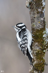''Pic douceur!'' Pic mineur- Downy woodpecker (pascaleforest) Tags: oiseau bird animal apssion nikon nature wild wildlife faune québec canada winter hiver arbre wood pic