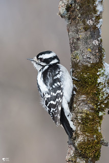 ''Pic douceur!'' Pic mineur- Downy woodpecker