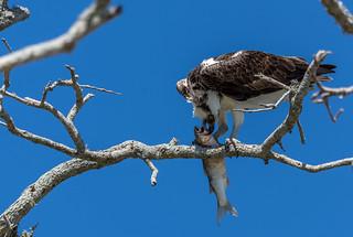 Osprey in Merritt Island National Wildlife Refuge, Florida