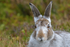 Mountain Hare (Lepus timidus) (KHR Images) Tags: mountainhare mountain hare lepustimidus bluehare wild mammal scottish highlands scotland wildlife nature portrait closeup nikon d500 kevinrobson khrimages