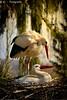 Love is in the Air (R.O. - Fotografie) Tags: storch stork störche storks liebe love sonne sun nest lair outdoor closeup close up vogel bird animal tier rofotografie bäume trees panasonic lumix dmcfz1000 dmc fz1000 fz 1000 natur nature