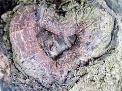 Tree Love ❤ #nature #rock #love #tree #texture #pattern #wood #abstract #environment #bark #outdoors #closeup (AyonSaha_Jr) Tags: closeup tree love nature bark wood texture pattern environment abstract rock outdoors