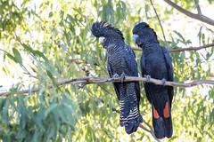 Red-tailed Black-Cockatoo (petefeats) Tags: australia birds cacatuidae calyptorhynchusbanksii nature psittaciformes queensland redtailedblackcockatoo rockhampton yeppenlagoon