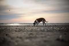 3/12 Edgar on a morning stroll at the beach (Jutta Bauer) Tags: bokeh beach morning excellentedgar edgar dog 12monthsforedgar 12monthsfordogs