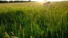 Dog in the May meadow (allybeag) Tags: spring crosby kiri dog meadow sun lowsun evening xperia phonepic
