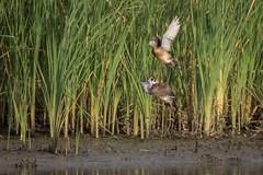 Two Wood (gseloff) Tags: woodduck bird flight bif wildlife nature animal mudflat reeds water bayou horsepenbayou pasadena texas kayak gseloff
