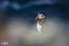 Puffin in early morning light (Sumburgh, Shetland) (Renate van den Boom) Tags: 05mei 2018 europa grootbrittannië jaar maand mainland papegaaiduiker renatevandenboom shetland vogels