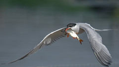 Catch of the day (Paul Wrights Reserved) Tags: tern commontern fish fisherman fishing bokeh bokehphotography bird birding birdphotography birds birdinflight birdofprey birdofpreyinflight birdwatching nature naturephotography wildlife wings wildanimal wildlifephotography wingtips wingspan