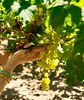Right off the vine. (PJD-DigiPic) Tags: pjddigipic grapes bunchofgrapes scissors pickinggrapes green vine westerncapeprovincesouthafrica calitzdorp