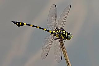 Ictinogomphus decoratus melaenops - the Common Flangetail