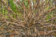 Tree Spider (Philip Kuntz) Tags: tree roots cedarroots groveofthepatriarchs rainier mtrainiernationalpark washington