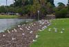 Silver gulls and little corellas, South Perth, WA, 08/02/18 (Russell Cumming) Tags: bird silvergull littlecorella southperth perth westernaustralia