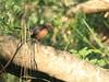 Eastern Towhee female 20180412 (Kenneth Cole Schneider) Tags: florida miramar westmiramarwca