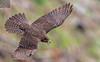 Kārearea 155 (Black Stallion Photography) Tags: adult female newzealand falcon kārearea bird wildlife nzbirds prey flight open wings brown tail feathers black stallion photography igallopfree