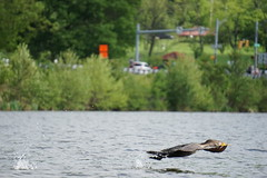 Cormorant on Lake (Ed McKaveney) Tags: alleghenycounty cormorant environment northpark pennsylvania