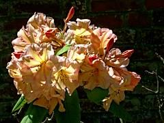 Vanessa Pastel (dogmarten28) Tags: vanessapastel rhododendron azalea deciduous flower tree bush shrub plant bloom garden wall