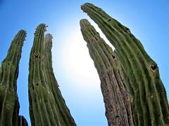 Fisheye cactus (thomasgorman1) Tags: fisheye natuire cactus baja desert mx mexico canon outdoors sunlight distortion effects curved