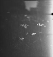 0026 (nori 4_4) Tags: flowers rolleiflexstandardtype622 tessar7535 orwo22 1986exp r09 1150 15h standdev