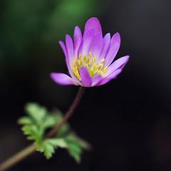 """Grecian Windflower"" (helmet13) Tags: d800e raw flora blossom anemoneblanda grecianwindflower macro selectivefocus bokeh simplicity nature springtime aoi peaceaward"