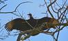 Vulture (brutus61534) Tags: vulture bird nature tree