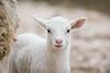 Lamby (gseloff) Tags: lamb animal dolancreekroad valverdecounty lomaalta texas gseloff