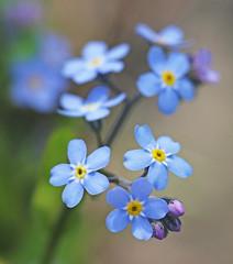Myosotis (Through Serena's Lens) Tags: myosotis forgetmenot blue flowers plant nature outdoor dof bokeh macro blooming delicate