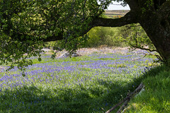 Beyond the bough (Keith in Exeter) Tags: tree bough beneath beyond bluebell carpet foliage flower dartmoor nationalpark devon holwelllawn landscape grass bank posts