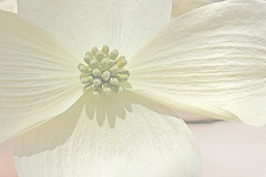 Dogwood blossom (hennessy.barb) Tags: dogwood bloom blossom white dreamy spring flower nature