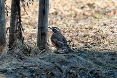 Punakylkirastas / Redwing (Tuomo Lindfors) Tags: iisalmi finland suomi lintu bird punakylkirastas redwing myiisalmi dxo filmpack