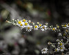 A Vine of Tiny Whites (that_damn_duck) Tags: nikon nature plant vine petals blossom blooming