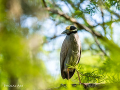 Yellow-Crowned Night Heron 002 (Phocal Art) Tags: 1 americannightheron americannightsquawk animalia ardeidae astraldesigns aves baldcyrpess chordata colorful kayak mating neoaves neognathae neornighes nyctanassa nyctanassaviolacea pelecaniformes squawk trinityriver trinityrivernationalwildliferefuge yellowcrownednightheron academy adventure adventurestartshere alone ascendh12 ascendoutdoors avian bird breedingplumage clifbar elementalprotection feather feathers feedyouradventure front frontview fullbody garmin gpsmaps64s h12 handheld havenolimits heron individual itsallwithinreach naturefirst nesting nightheron paddle peaceful realtree realtreelife realtreeoutdoors sealline single swamp swampland swampy trees yakgear yellowcrowned yourrules zen