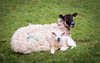 Mother and Baby (Jez22) Tags: lamb sheep animal ewe hogget farm cute young spring kent copyright jeremysage nature wool livestock rural field pasture fleeceoutdoor springtime ovisaries mammal ruminant eventoedungulate england