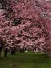 Primavera - parte II (ccrrii) Tags: primavera spring fioritura fiori flowers inverigo co italy lombardia ita