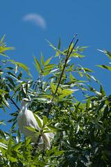 Snowy egrets breeding season has started (bitonio) Tags: egret breeding moon sky bird birdlover tree leaves googleplex avians watcher birdwatching birdwatcher nature snowyegret google