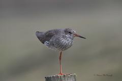 Redshank From the Moors (shaunmcdonagh) Tags: redshank birds bird nature northeast