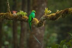 Resplendent Quetzal (www.jessfindlay.com) Tags: resplendentquetzal pharomachrusmocinno talamancacordillera talamancamountains quetzal wwwjessfindlaycom jessfindlay jessfindlayphotography