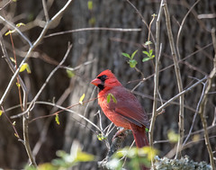 something above (long.fanger) Tags: centreville virginia cardinalmale utilityeasement