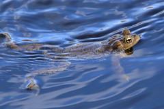 Vanlig groda_3238 Rana temporaria (andersarman) Tags: vanliggroda europeancommonfrog rana groda frog ranatemporaria nature wildlife lake sjö victoriasjön torpesta