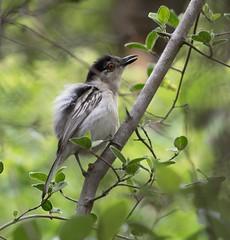 _DSC2392-editCC (Dave Krueper) Tags: africa southafrica birds birding bird