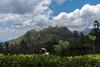 Tea country around Ella (JohnMawer) Tags: ella srilanka teapicker tea