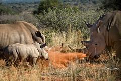 _AJ23283 copy (alj70) Tags: southafrica tswalukalaharireserve whiterhinoceros calf female male